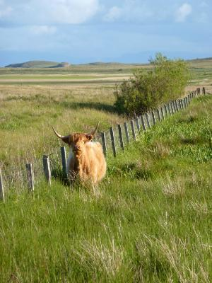 Cow in the paddock Isle of Skye
