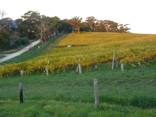 Golden vineyards Australia