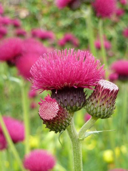 Pink Flower Isle of Skye