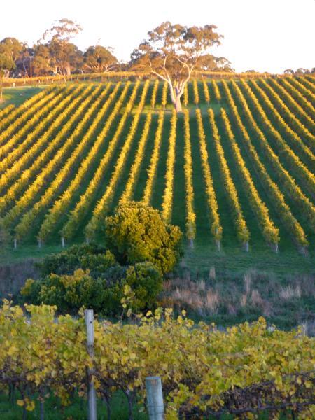 Sunset on vineyards Australia
