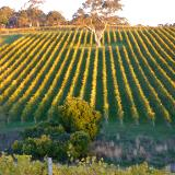 Sunset on vineyards Australia
