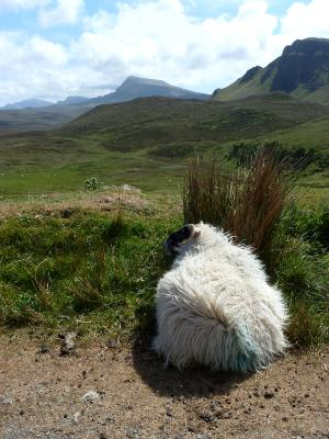 Sheep with a view Isle of Skye