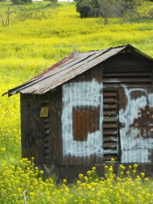 Yellow field with rusty shed