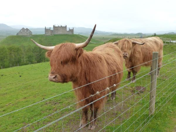 Highland Cattle Scotland