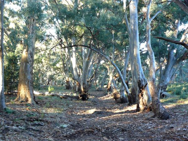 Gum trees Australia
