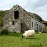 Isle of Skye old shed with sheep