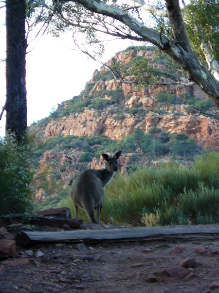 Wallaby Australia